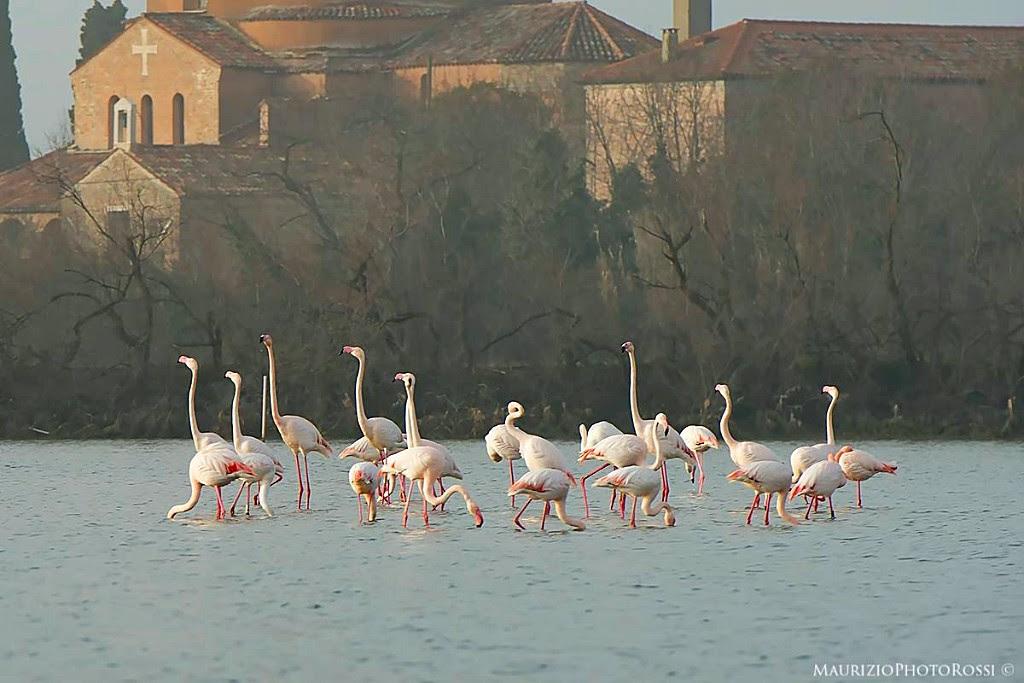 Flamants roses Lagune de Venise