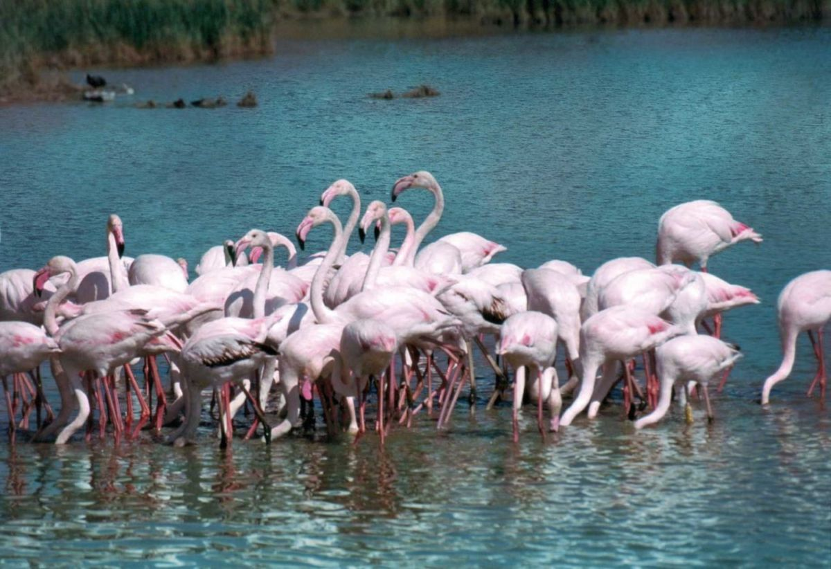 Rosa Flamingos Po Delta