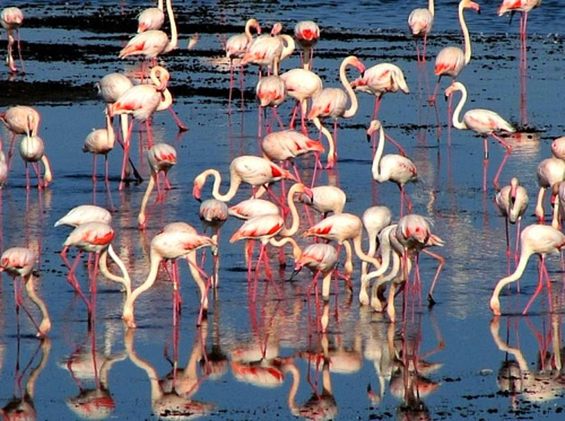 group-of-pink-flamingos-in-the-lagoon