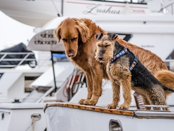 brown dogs on a white boat on a leash