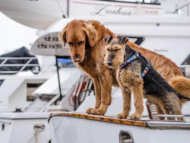 cani marroni in barca bianca al guinzaglio