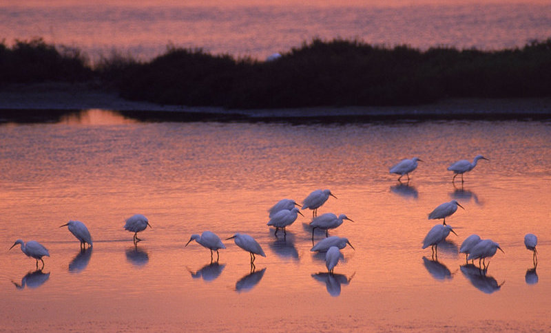 """Garzetta"" birds on the Po Delta at sunset"
