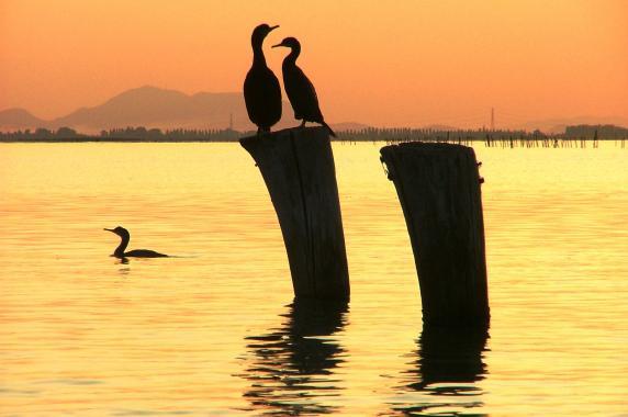 Laguna veneta cormorani briccole