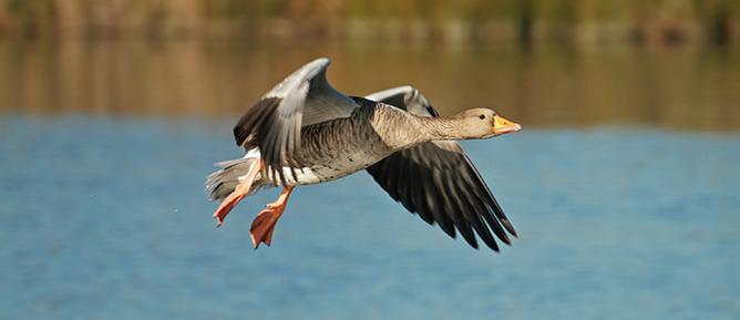 Marano lagunare fauna oca grigia in volo