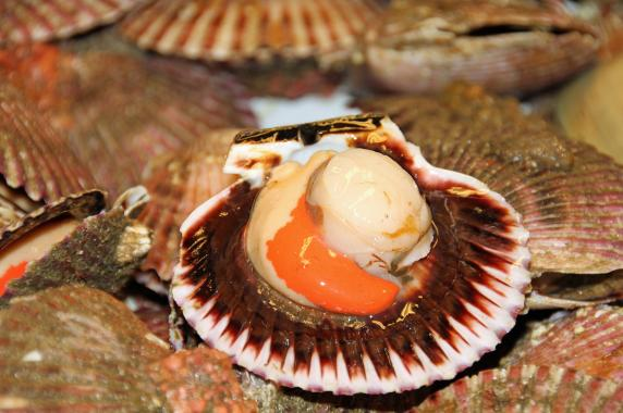 scallop typical product of the Venetian lagoon